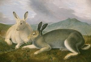 Arctic Hare, 1841 by John James Audubon