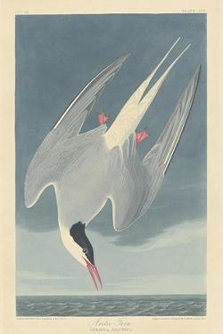 Arctic Tern, 1835 by John James Audubon