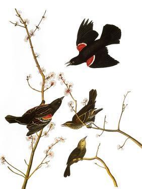 Audubon: Blackbird, 1827 by John James Audubon