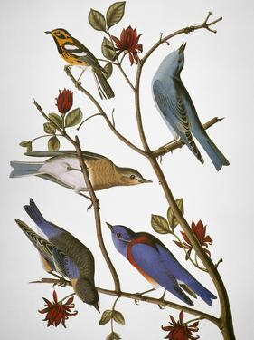 Audubon: Bluebirds by John James Audubon