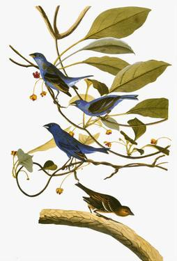 Audubon: Bunting, 1827-38 by John James Audubon