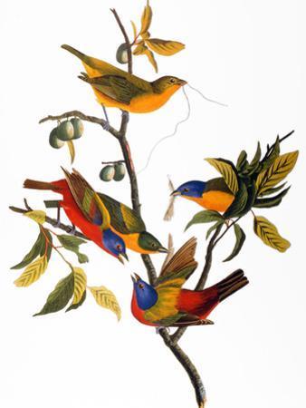 Audubon: Bunting, 1827
