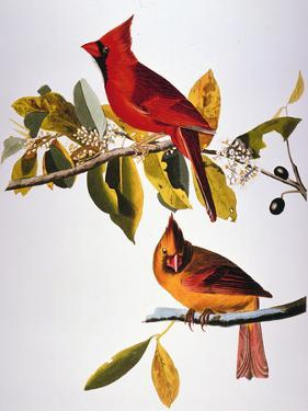 Audubon: Cardinal by John James Audubon