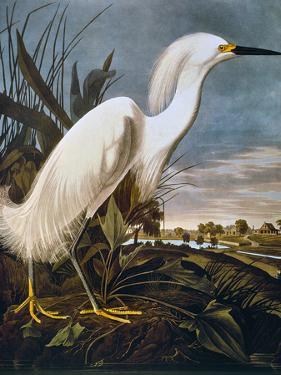 Audubon: Egret by John James Audubon
