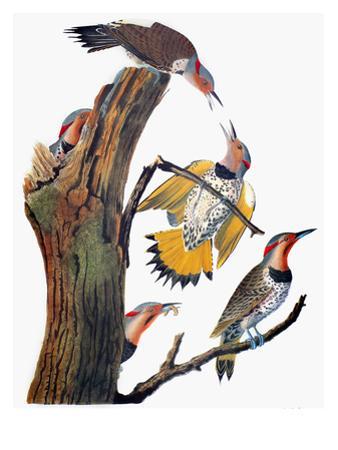 Audubon: Flicker