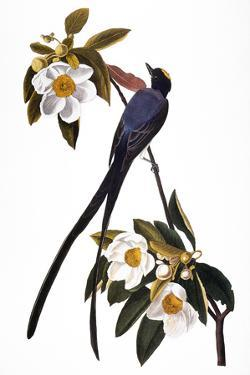 Audubon: Flycatcher, 1827 by John James Audubon