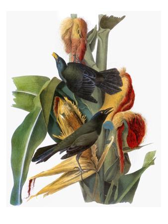 Audubon: Grackle