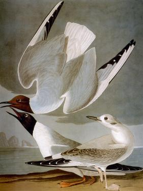 Audubon: Gull by John James Audubon