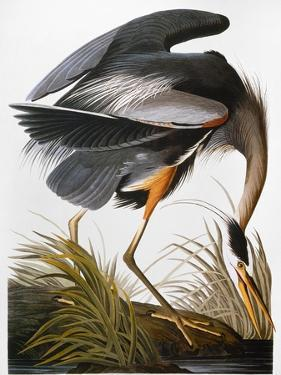 Audubon: Heron by John James Audubon