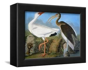 Audubon: Ibis by John James Audubon