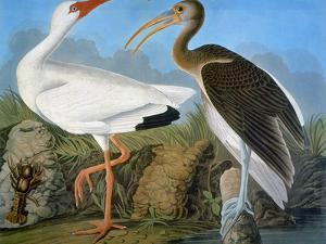 Audubon: Ibis by John James Audubon