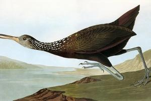 Audubon: Limpkin by John James Audubon