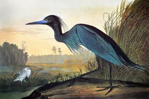 Audubon: Little Blue Heron by John James Audubon