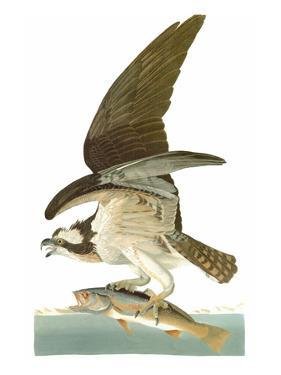 Audubon: Osprey by John James Audubon