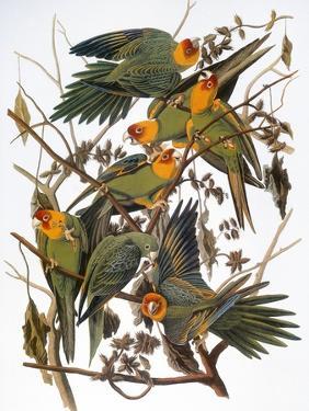 Audubon: Parakeet by John James Audubon