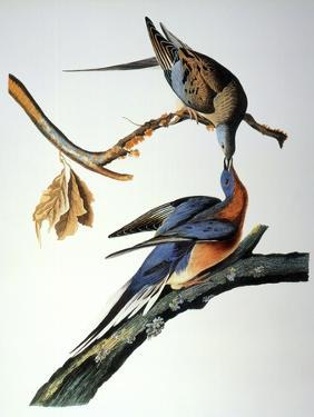 Audubon: Passenger Pigeon by John James Audubon