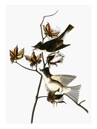 Audubon: Phoebe