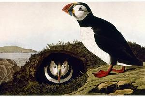 Audubon: Puffin, 1827-38 by John James Audubon