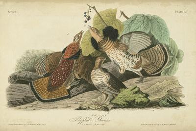 Audubon Ruffed Grouse