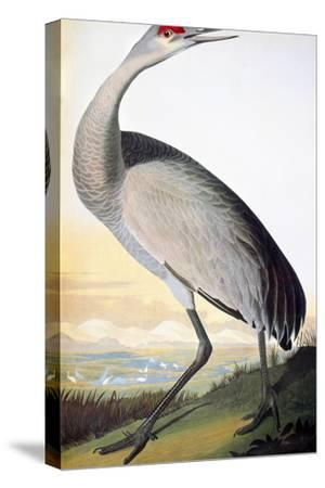 Audubon: Sandhill Crane