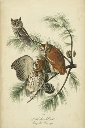 Audubon Screech Owl