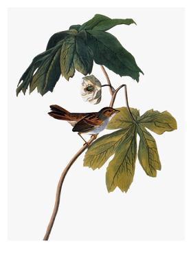 Audubon: Sparrow, 1827-38 by John James Audubon