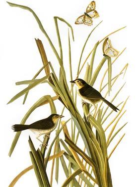 Audubon: Sparrow, 1827 by John James Audubon