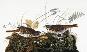 Audubon: Sparrow by John James Audubon