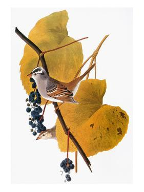 Audubon: Sparrow by John James Audubon