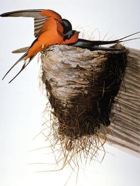 Audubon: Swallow by John James Audubon