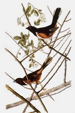 Audubon: Towhee by John James Audubon