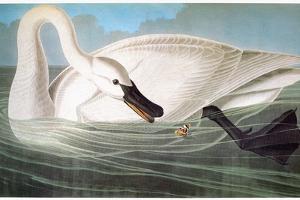 Audubon: Trumpeter Swan by John James Audubon