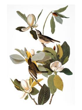Audubon: Vireo by John James Audubon