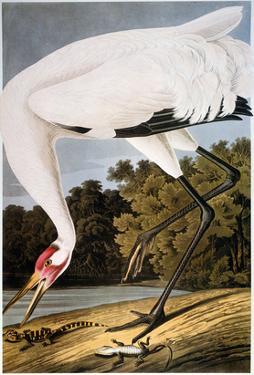 Audubon: Whooping Crane by John James Audubon