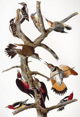 Audubon: Woodpeckers by John James Audubon