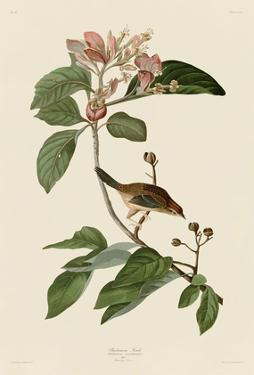 Bachmans Finch by John James Audubon