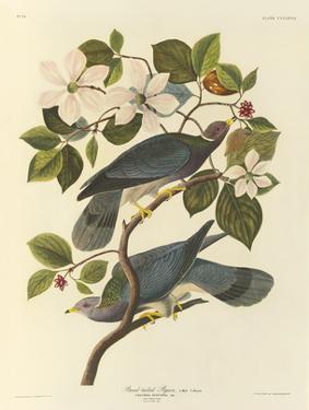Band Tailed Pigeon by John James Audubon