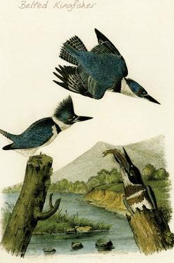 Belted Kingfisher by John James Audubon