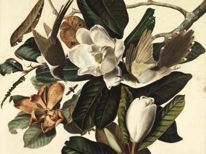 Black-Billed Cuckoo, 1822 by John James Audubon