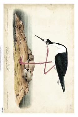 Black Necked Stilt by John James Audubon