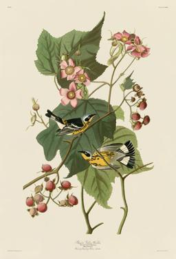 Black & Yellow Warblers by John James Audubon
