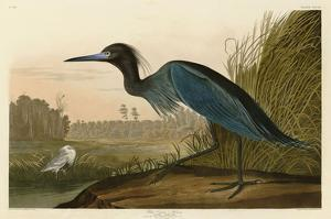 Blue Crane or Heron by John James Audubon
