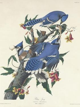 Blue Jay, 1831 by John James Audubon