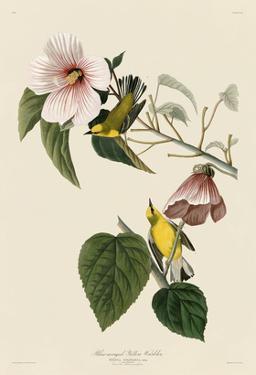 Blue-Winged Yellow Warbler by John James Audubon
