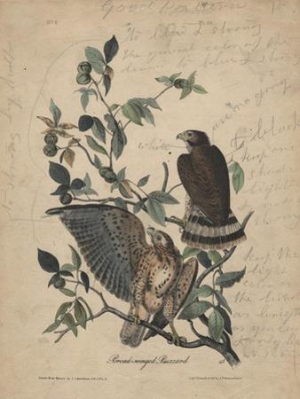Broad-Winged Buzzard, 1840 by John James Audubon