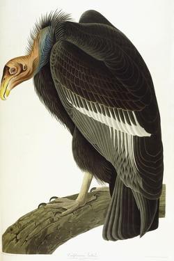 Californian Vulture, Old Male, 1838 by John James Audubon