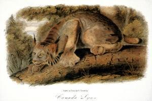 Canada Lynx, 1846 by John James Audubon