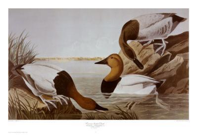 Canvasback Duck by John James Audubon