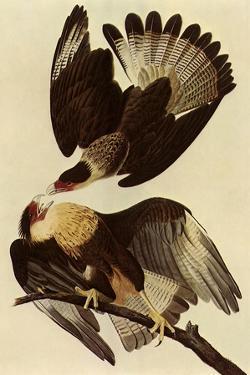 Caracaras by John James Audubon