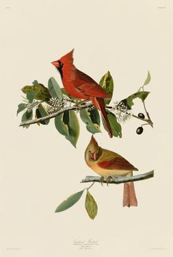 Cardinal Grosbeak by John James Audubon